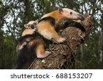 southern tamandua  photographed ... | Shutterstock . vector #688153207