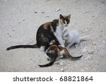 Wild Croatian Mother Cat With...
