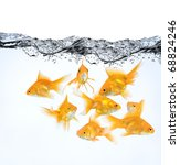 large group of goldfish in water isolated on white background - stock photo