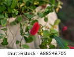 Small photo of Flower Felt of the Acalypha reptans planted in the vase in the yard