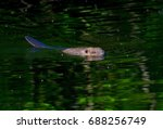 swim beaver on a creek in sweden | Shutterstock . vector #688256749