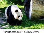 Small photo of Giant Panda (ailuropoda, malanoleuca) in the grass