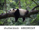 Panda bear sleeping on a tree...