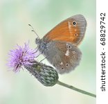 Small photo of Butterfly Coenonympha tullia (underside) on the flower