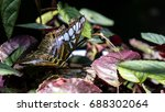 butterfly has small wings but... | Shutterstock . vector #688302064