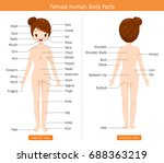 female human anatomy  external... | Shutterstock .eps vector #688363219