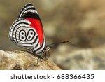 beautiful butterfly diaethria... | Shutterstock . vector #688366435