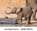 Wet Elephant Calf Playing At...