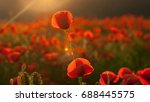 flowers red poppies blossom on... | Shutterstock . vector #688445575