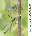 The Pairing Of Blue Dragonflie...