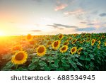 a plantation of beautiful... | Shutterstock . vector #688534945