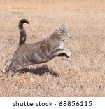 Stock photo beautiful blue tabby cat leaping while running in dry winter grass 68856115
