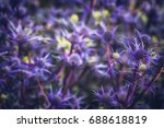 Sea Holly Plant Purple For Dry...