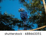 The Hyacinth Macaw ...