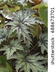 Small photo of Begonia Connie Boswell