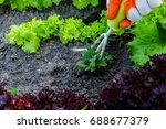 gardening  weeding weeds.... | Shutterstock . vector #688677379