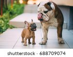 Stock photo english bulldog playing with an awesome french bulldog 688709074