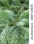 Small photo of Abies amabilis Spreading Star