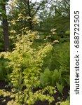 Small photo of Acer palmatum Orange Dream