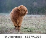 brown calf of scottish highland ... | Shutterstock . vector #688791019