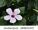 white flower   Shutterstock . vector #688852447