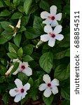 white flowers    Shutterstock . vector #688854511
