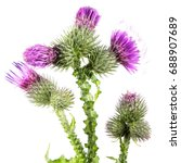 Welted Thistle  Carduus Crispu...