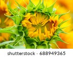 unopened sunflower close up in... | Shutterstock . vector #688949365