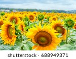 blooming sunflowers and... | Shutterstock . vector #688949371