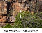 Great Egrets On Mangrove Tree ...