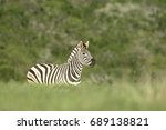 plains zebra spooked by a... | Shutterstock . vector #689138821
