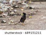 Small photo of Jungle myna of the south Indian race showing blue iris - Acridotheres fuscus