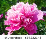 bright pink peony petals close... | Shutterstock . vector #689232145