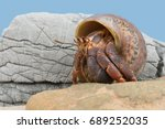 Small photo of Caribbean Hermit Crab on beach/Hermit Crab/Caribbean Hermit Crab (Coenobita clypeatus)