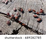 Red Soldier Bugs On Stump Clos...