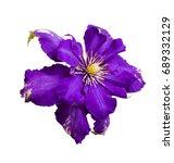 Clematis Flowers. Purple...