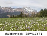 crocus meadow at sauris  ...