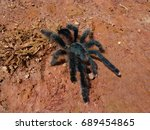 Small photo of Huge spider - Grammostola rosea