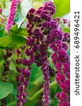 Small photo of Long purple inflorescences of amaranth