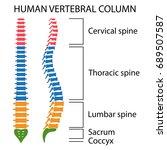 vertebral column spine... | Shutterstock .eps vector #689507587
