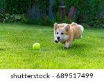 Corgi Catches The Ball On The...