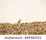Red Legged Partridge Chick...