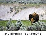 Bison Calf Nursing