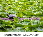 Lone Western Painted Turtle On...