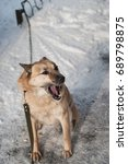 a dog in winter on a chain in... | Shutterstock . vector #689798875
