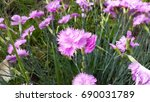 dianthus   flowering plants | Shutterstock . vector #690031789