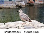 Young Seagull Resting On Dock....