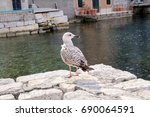 young seagull resting on dock.... | Shutterstock . vector #690064591