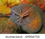Yellowmargin Moray Eel ...