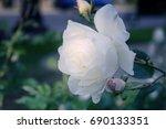 White Roses In The Garden....